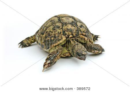 Emma Turtle