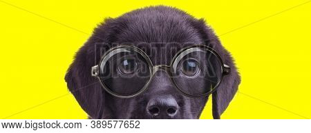 adorable labrador retriever doggy wearing glasses and hiding on yellow background