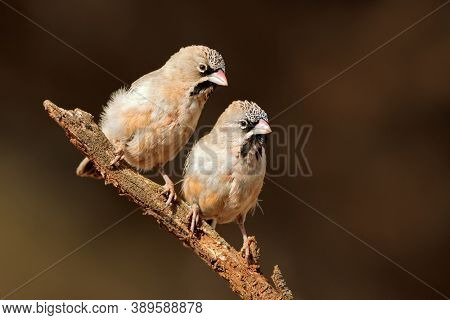 A pair of small scaly-feathered weavers (Sporopipes squamifrons) perched on a branch, South Africa