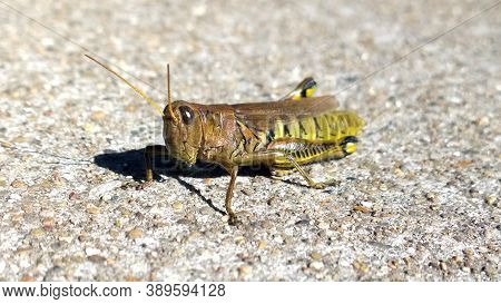 Friendly Grasshopper Soaking Up The Sun's Warmth From The Concrete