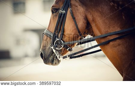 Muzzle Sports Red Horse In The Bridle. Portrait Stallion  In The Double Bridle. Horse Muzzle Close U