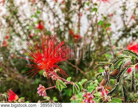 Close Up Shot Of A Beautiful Red Mimosa Silk Flower Or Also Know As Persian Silk Flower.
