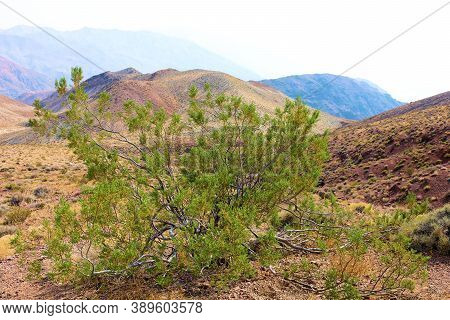 Creosote Bush On An Arid Desert Plateau Surrounded By Barren Mountains Taken In Death Valley, Ca
