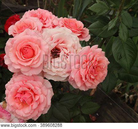 Cluster Of Pink Garden Roses (rosa) Outside