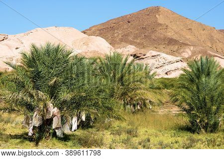 Date Fruits Wrapped Up For Protection From The Elements On Date Palm Trees Which Are Ready For Harve