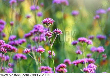 Verbena Bonariensis Flowers, Argentinian Vervain Or Purpletop Vervain, Clustertop Vervain, Tall Verb