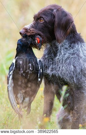 German Wirehaired Pointer Holds A Downed Wildfowl (black Grouse Cock) In Its Teeth During Hunting