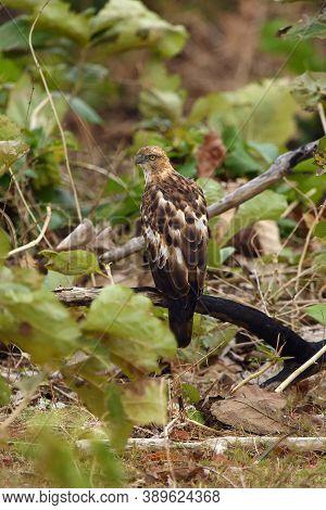 The Changeable Hawk-eagle Or Crested Hawk-eagle (nisaetus Cirrhatus Ceylanensis ) Or (spizaetus Cirr