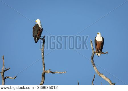 Two African Fish Eagles Siting In Dead Tree With Blue Sky In The Background In Chobe River In Botswa