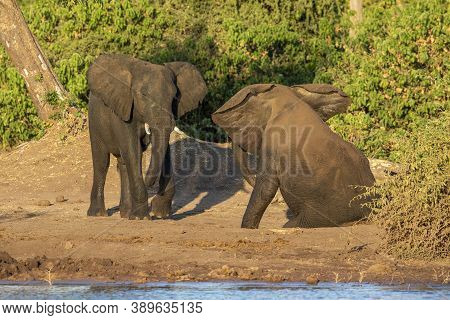 Twp Young Elephant Bulls Play Fighting At The Edge Of Chobe River In Golden Afternoon Sunlight In Bo