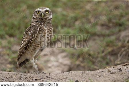 A Great Horned Owl On The Ground, Portrait Of An American Eagle Owl, Cute Owls