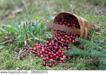 Fresh forest cranberries in a mug on a stump in the woods. Cranberries in basket on grass. Christmas tree and drinks of sweet ripe cranberries. Christmas traditions and drinks