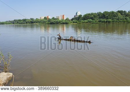 The Trunk Of A Tree Floats Downstream In The River. Big Driftwood In The River