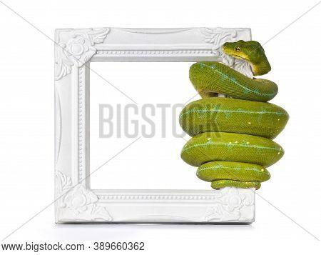 Adult Green Tree Python Aka Morelia Viridis Hanging On Side Of White Photo Frame.. Isolated On White