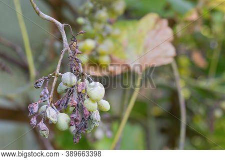 Plant Disease Peronospora (plasmopara Viticola) Also Known As Grape Downy Mildew.