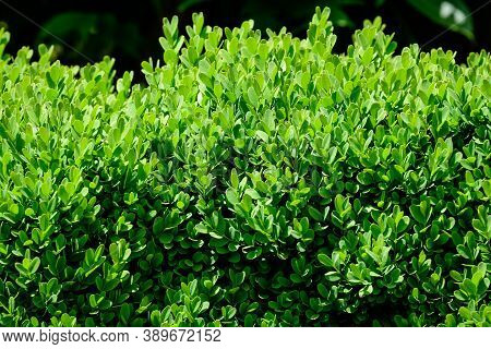 Textured Natural Background Of Many Green Leaves In Shrubs That Grow In A Hedge Or Hedgerow In Sunny