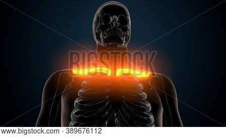 3d Illustration Of Human Skeleton Anatomy Clavicle Bones.
