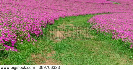 Landscape Of Grass Pathway With Beautiful Pink Petunia Flowers (petunia Hybrida) In The Garden.  In