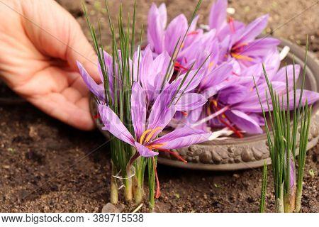 Closeup Of Palms Of A Farmers Collects Crocus Sativus, Commonly Known As Saffron Crocus, Or Autumn C