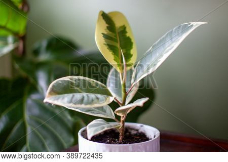 A Small Varigated Rubber Tree (ficus Elastica Variegata) Sits In A White Pot On A Desk Decorating A