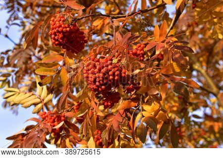 Bright Red Mountain Ash Bush In Autumn With Berries