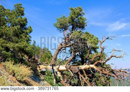 Uprooted Pine Tree Caused From A Lightning Strike On An Alpine Mountainous Slope Taken In The Panami