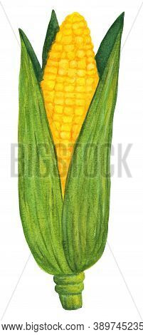 Gold Maize Cob In Green Husk Isolated On White Background. Watercolor Corn Logo. Autumn Harvest From