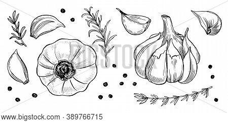 Garlic Hand Drawn Vector Illustration Set. Isolated Garlic, Cloves, Rosemary And Black Pepper. Engra