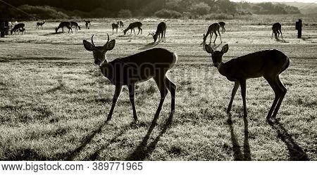 Silhouette Of South Texas Deer In Black And White.
