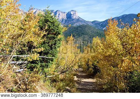 Hiking Trail Surrounded By Pine And Quaking Aspen Trees Changing Colors During Autumn Taken In Mt Ch