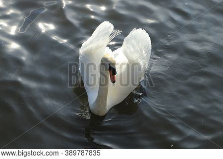 Beautiful White Swam Swimming In A Small Pond In A Park Located In New York, Usa. View Of Gorgeous W