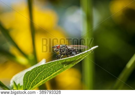 Common Flesh Fly (sarcophaga Carnaria) On A Leaf By The River Drava In Danube-drava National Park (d