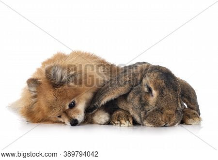 Flemish Giant Rabbit And Spitz In Front Of White Background
