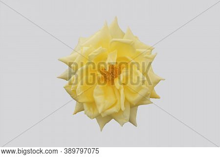 Opened Yellow Rose Flower Isolated On Gray Background.