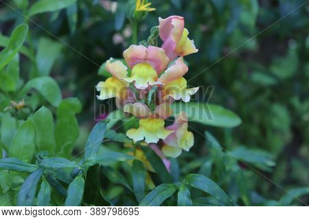 Flowers Snapdragons, Antirrhinum Majus Known As Dragon Flowers Growing In A Botanical Garden. Close
