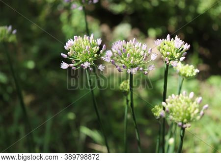 Allium angulosum, the mouse garlic in organic garden.It is a species of garlic. Allium angulosum is cultivated as an ornamental and also as an herb for kitchen gardens. Bulbs and leaves are edible.wrong description