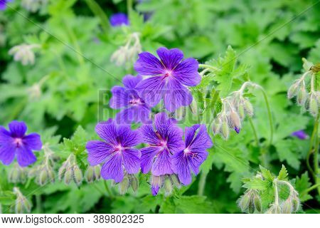 Group Of Vivid Blue Pelargonium Flowers (commonly Known As Geraniums, Pelargoniums Or Storksbills) A