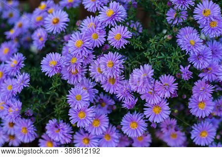 Small Garden Violet Astra Flowers. Group Of Alpine Asters Aster Alpinus. Full Frame. Close-up Photo.