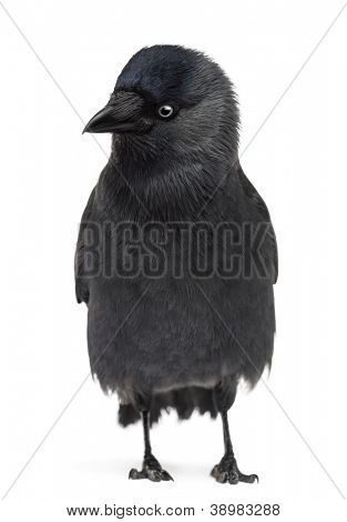 Western Jackdaw looking left and down, Corvus monedula, (or Eurasian Jackdaw, or European Jackdaw or simply Jackdaw) against white background