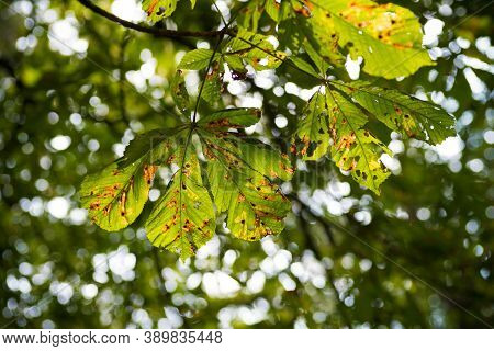 Foliage Of A Horse Chestnut Tree In Autumn