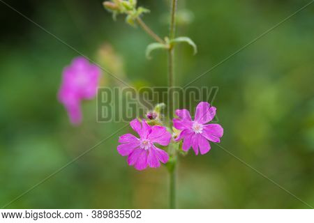 Close Up Image Of Flowers Of A Perennial Plant Silene Dioica Known As Red Campion Or Red Catchfly