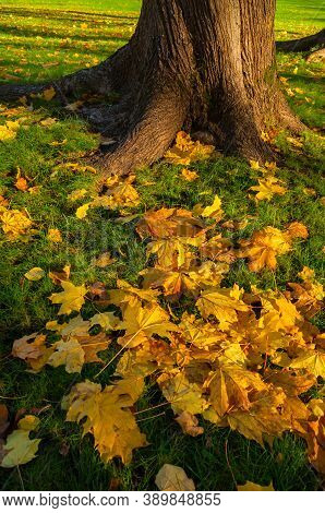 Fall maple leaves on the ground. Fall city park, yellow fallen leaves lit by sunset light. Colourful fall park, fallen maple leaves on the foreground, fall park landscape in sunny fall evening
