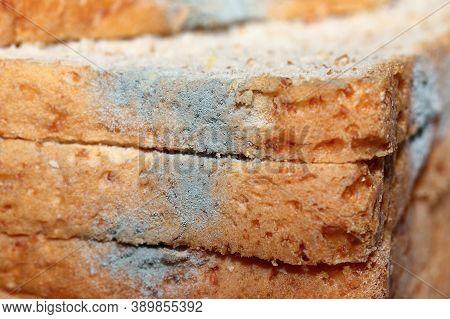 Fungus Mold (penicillium Sp.) Growing On Expire Slice Whole Wheat Bread (selective Focus On Blue Fun