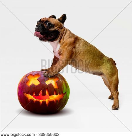 Cute Puppy With Halloween Jack-o-lantern Pumpkin Isolated On White Studio Background. Meeting The Au