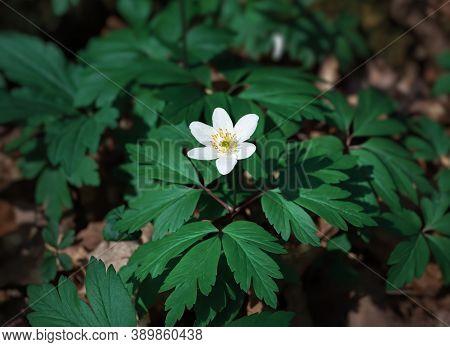 First Spring Flowers. Anemone Sylvestris