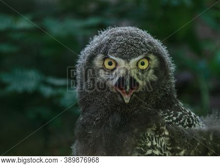 White Owl Fluffy Children Bird With Yellow Eyes And Open Mouth, Funny Bird Portrait
