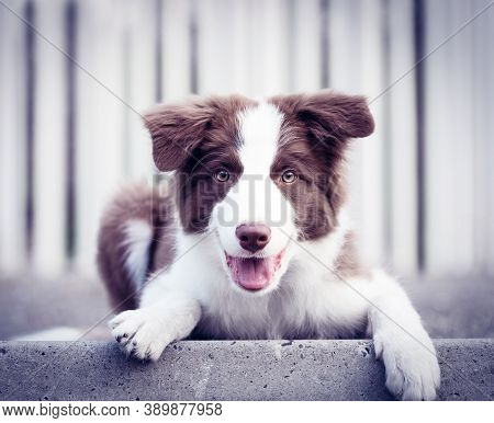 Adorable Border Collie Puppy Sitting On The Ground. Four Months Old Cute Fluffy Puppy In The City Pa