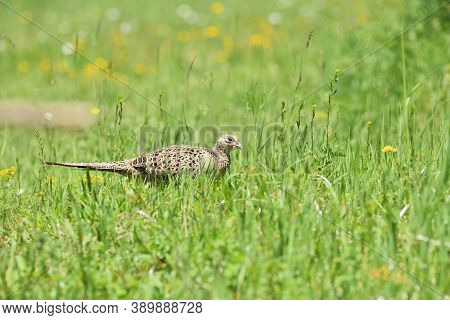 Pheasant Hen Walking And Lurking For Food In Grass During  Sunny Spring