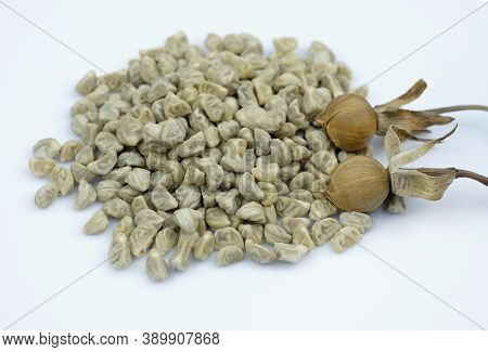 Morning Glory Seeds Close Up. Collecting Seeds From Flowers In Autumn. Stages From Flowering To Coll