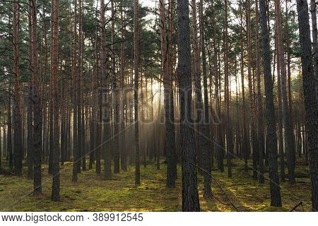 An Autumn, Misty Morning In A Tall Pine Forest. It's An Autumn Morning. Tall Pine Forest. A Haze Ris